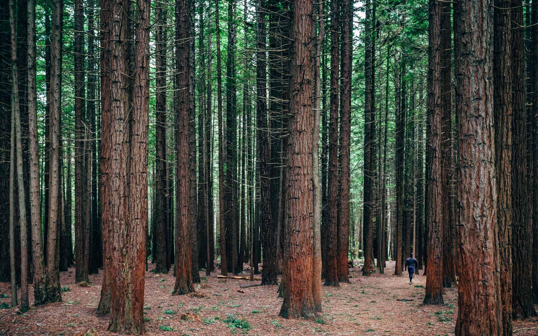 A walker enters The Redwood Memorial Grove in Whakarewarewa Forest.